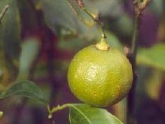 Bergamota (óleo essencial)