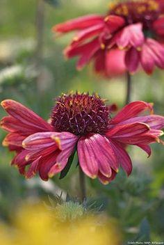 Gaillarde (Gaillardia aristata) : Cette vivace compacte, mellifère, refleurit généreusement après avoir été rabattue et se ressème sans difficulté dans les sols légers et poreux. À réserver aux sols plus légers et drainants, mais bénéficiant d'arrosages hebdomadaires.