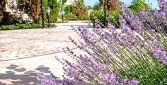 Pokud chcete, aby vám levandule nádherně kvetla i příští rok, nesmíte ji zapomenout správně ostříhat.