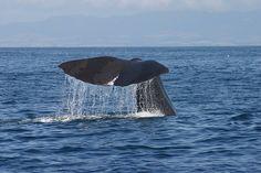 Whale watching off Kaikura - 8 by underdutchskies, via Flickr