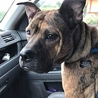 ADOPTEDPictures of Eva a Staffordshire Bull Terrier Mix for adoption in Sharon Center, OH who needs a loving home.
