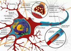 Anatomy of neuron