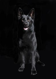 pic of shepherd  - a young Shepherd Dog sitting in front of black background studio portrait - JPG