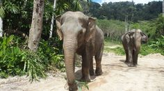 Thailand's new Phuket Elephant Sanctuary gives the island's old, sick, injured, tired or overworked elephants a chance to enjoy their final days in peace.