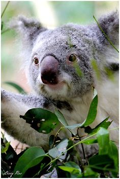 Koala (Phascolarctos cinereus) Коала