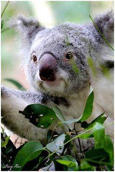 **Koala