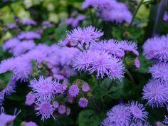 αγηρατο Garden, Plants, Nature, Gardening 101, Flowers