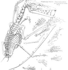 Pterodactylus crassirostris restored 1836