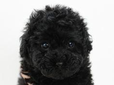 トイプードルの子犬のブラックの女の子