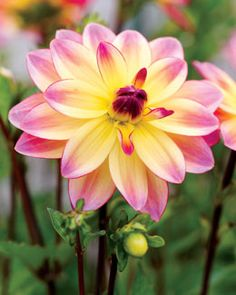 """Dahlia, Pacific Ocean Subtle Color Combination. Pacific Ocean's superb flowers are soft yellow in the center with pink petals. Productive plants pump out lots of 5"""" flower"""