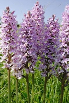 Just Seed - British Wild Flower - Common Spotted Orchid -... https://www.amazon.co.uk/dp/B00AQTMWZG/ref=cm_sw_r_pi_dp_x_9fNeAb15K37G5