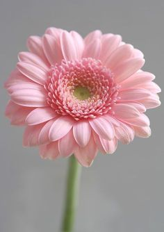 flores frases Gerbera daisy Not my Favorite colour though Gerbera daisy Not my Favorite colour though Small Pink Flowers, Pretty Flowers, Pink Roses, Pink Gerbera, Daisy Flowers, Single Flowers, Light Pink Flowers, Pink Hydrangea, Pink Tulips