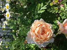 Ambridge  Rose and Feverfew