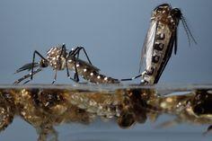 mosquito male and female - Buscar con Google