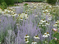 Planting by Swedish garden designer Ulf Nordfjell. Hazy blue/purple of perovskia punctuated by white echinacea.
