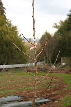 Pruning and first year care for apple trees