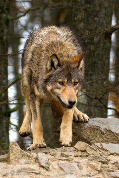 ☀running wolf #wolf #wolves #animals
