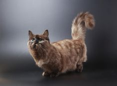 Pictured here is a long-haired Munchkin cat. If you choose to get a long-haired cat, you'll need to groom him regularly to keep his fur from becoming matted.