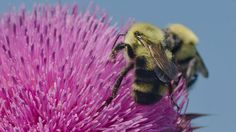 Two-spotted bumble bee (Bombus bimaculatus) feeding on Carduus  Nodding Thistle. BeeSpotter.org | Photo by Suzanne Cadwell/Flickr
