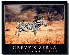 Adorn your living space with this fabulous wildlife grevy's zebra safari animal art print poster. This amazing animal wall art will never fail to impress you and your guests for sure. Grevy's zebra is the largest living wild member of the horse family. Its big heads, large and rounded ears and thick erect manes make the grevy's zebra appear more mule-like than other zebras. Grevy's zebra is listed as endangered on the World Conservation Union's Red List of Threatened Animals.