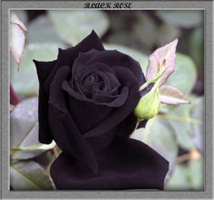 Rose Garden Find great deals for black rose seeds. Buy wholesale Black Rose - Seeds / flower seeds and free garden seeds products. black and rose . Rare Flowers, Black Flowers, Purple Roses, Exotic Flowers, Pretty Flowers, Black Roses, Tropical Flowers, Colorful Roses, Annual Flowers