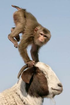 monkey playing with his friend the goat