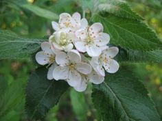 Roseaceae. Malus fusca 'Pacific crab apple'. Thorn like spurs. Hairly, curly young twigs.