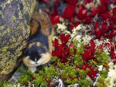 Norwegian Lemming - One of the mysteries of English is why this diminutive creature has become a byword for impulsive herdlike behaviour, even mass hysteria. These appealing northern rodents are the victims of a bad p...