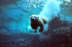 Qannik, a young Polar Bear, at the Louisville Zoo. Photo by Christopher Drake, C.S. Drake on Flickr.