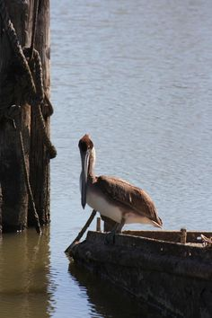 """Louisiana pelican """"Oh, a wondrous bird is the pelican! His bill holds more than his belican. He can take in his beak Enough food for a week. But I'm darned if I know how the helican."""""""