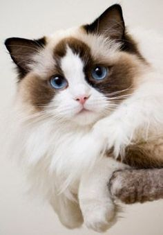 * * CAT SNIP: Ragdoll cats are touted for their docile personalities and they…