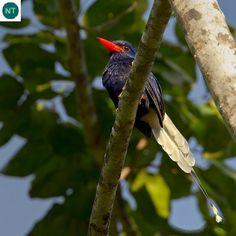 https://www.facebook.com/WonderBirds-171150349611448/ Bói cá thiên đường loài đặc hữu đảo Numfor, Indonesia; Họ Bói cá cây-Halcyonidae (tree kingfisher)    Numfor paradise kingfisher (Tanysiptera carolinae) IUCN Red List of Threatened Species 3.1 : Near Threated (NT)(Loài sắp bị đe dọa)