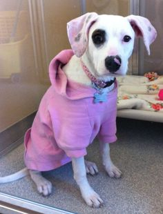 Flossie is so unbelievably sweet and cute, we almost can't stand it! She is so tiny and adorable, she loves everyone and everything. We're not certain on her breed, but she appears to possibly be a tiny white boxer / pointer mix. She is around 8...