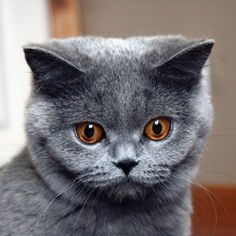 #Britishshorthair  #breedoftheweek  This is Not Your Typical Lap Cat  The British Shorthair is not the sort of cat that will eagerly cozy up into your arms whenever they are around you. While they do prefer to be near their humans they are chill cats who like to hang out with you just not on you. These cats are also highly intelligent and like interactive toys and keeping themselves entertained. Due to their laid-back nature they do well in multi cat homes along as with cat-friendly dogs and…