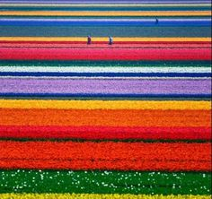 Whoaa.... What a beauty tulip garden...