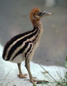 Double Wattled Cassowary Chick _ This little baby chick will grow to become one of the largest birds in the world.