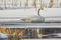 Whooper swan resting on ice