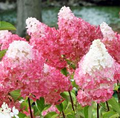 Vanilla Strawberry Hydrangea ( hydrangea paniculata 'vanilla strawberry' ) a member of the PeeGee Hydrangea family. With blooms that arise continuously for many weeks, changing colors as they mature, Hydrangea Paniculata, Hydrangea Shrub, Limelight Hydrangea, Hydrangea Flower, Hydrangea Garden, Smooth Hydrangea, Hydrangea Colors, Sun Flowers, Roses Garden