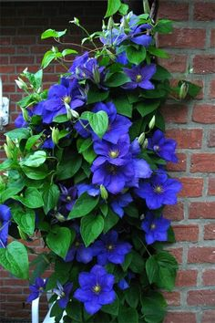 Clematis General Sikorski Source Clematis Source All the little ladybugs! Source This rare plant is named Psyc... Blue Clematis, Climbing Clematis, Clematis Plants, Clematis Flower, Clematis Vine, Climbing Roses, Rare Flowers, Bulb Flowers, Beautiful Flowers