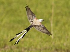 Scissor-tailed Flycatcher                   © John Ritchey, Oklahoma, April 2012, http://www.flickr.com/photos/ritcheyjj/7069044903/