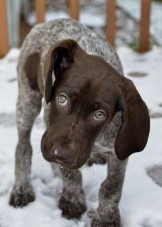 German Shorthair pointer pup<3