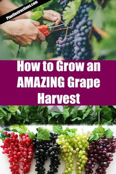 How to Grow Grapes in Your Garden is part of Grape plant Not often do you hear of someone growing their own grapes unless they own a winery, but in reality, grapes are fairly easy to grow, don& req - Fruit Plants, Fruit Garden, Organic Horticulture, Organic Gardening, Vegetable Gardening, Organic Plants, Organic Farming, Gardening For Beginners, Gardening Tips