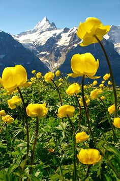 Alpine Globe-flower (Trollius Europaeus ) in a Swiss meadow in the Bernese Alps at 6,000 feet ( 2,500 Meters) with the Eiger in the background, Grindelwald, Switzerland