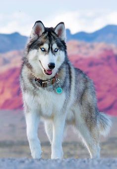 Siempre fuerte.What a handsome dog. Have been around huskies throughout my life. They are very smart so therefore they can be very strong willed must be taught early on who the boss is and must be provided lots if exercise due to their working dog status.♡♡♤