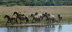 Actualité tourisme cheval & équitation : Les chevaux Henson du Parc du Marquenterre