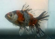 Shubunkin (Calico) Goldfish. Eva's fish have more of the pearly, translucent fins, like this guy
