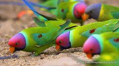 Plum-headed Parakeets (Psittacula cyanocephala) by Adam Riley | Flickr - Photo Sharing!