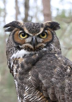 Posts about great horned owl on Beth Waldron Owl Writing, Great Horned Owl, Owl Art, Pta, Owls, Magic, Bird, Funny, Animals