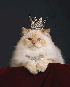 Peach Persian cat wearing tiara & necklace