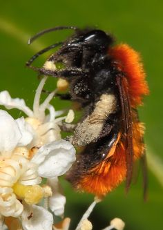 Close ups of a beautiful carder bee.